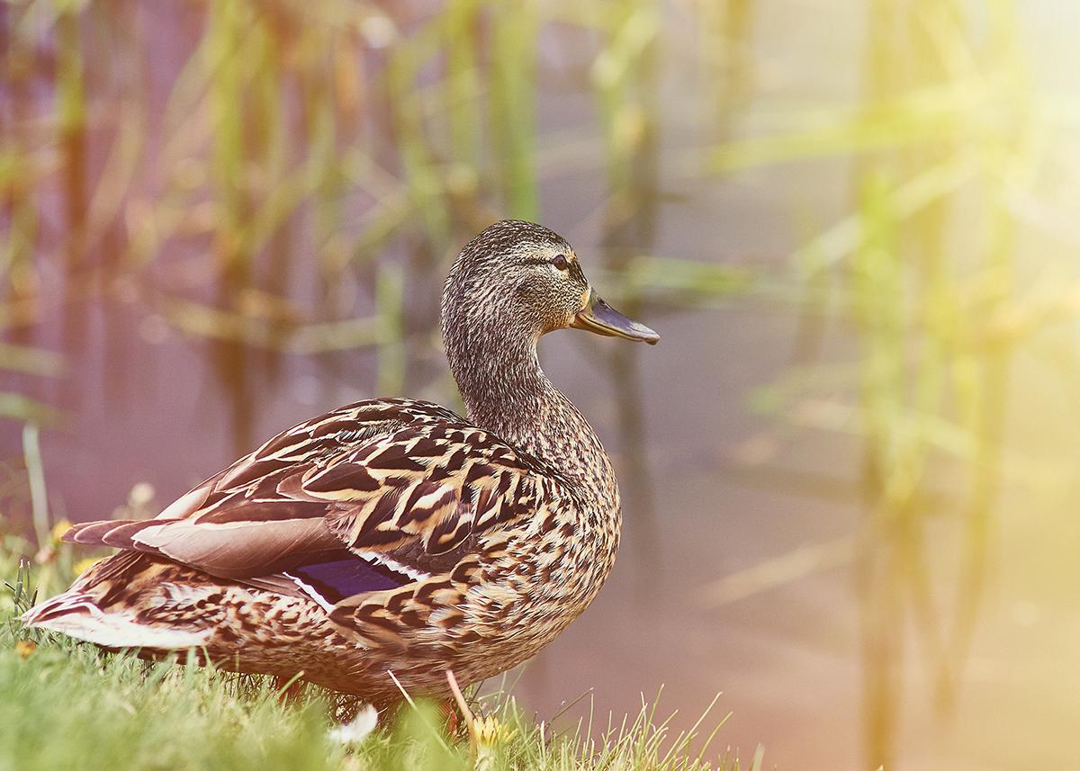 duck at lakes edge