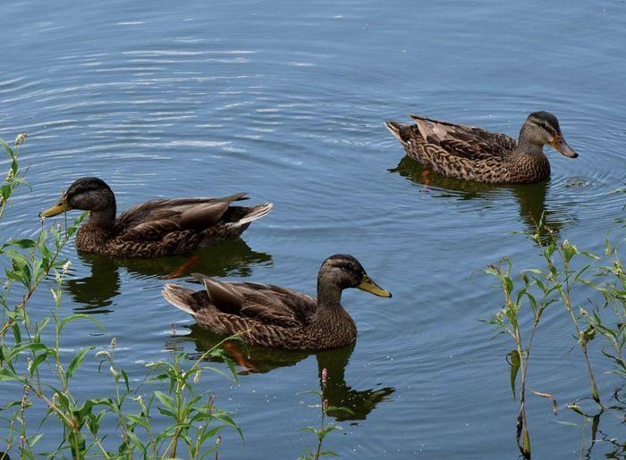 ducks in community lake Pratt Homes