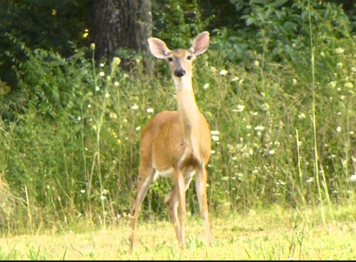deer wanders into wooded neighborhood Pratt Homes